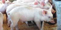 pig_image_for_agrobusinessng_website-e1457373778449 - Россельхознадзор